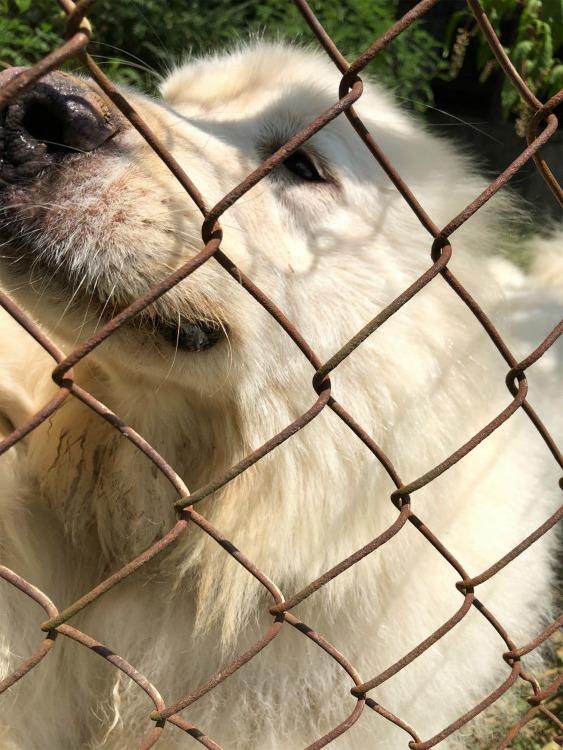 巨大化ピレネー犬【真夏の変化】_e0034987_17261109.jpg