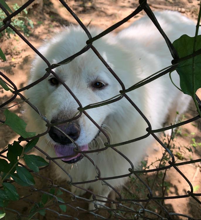 巨大化ピレネー犬【真夏の変化】_e0034987_17261901.jpg