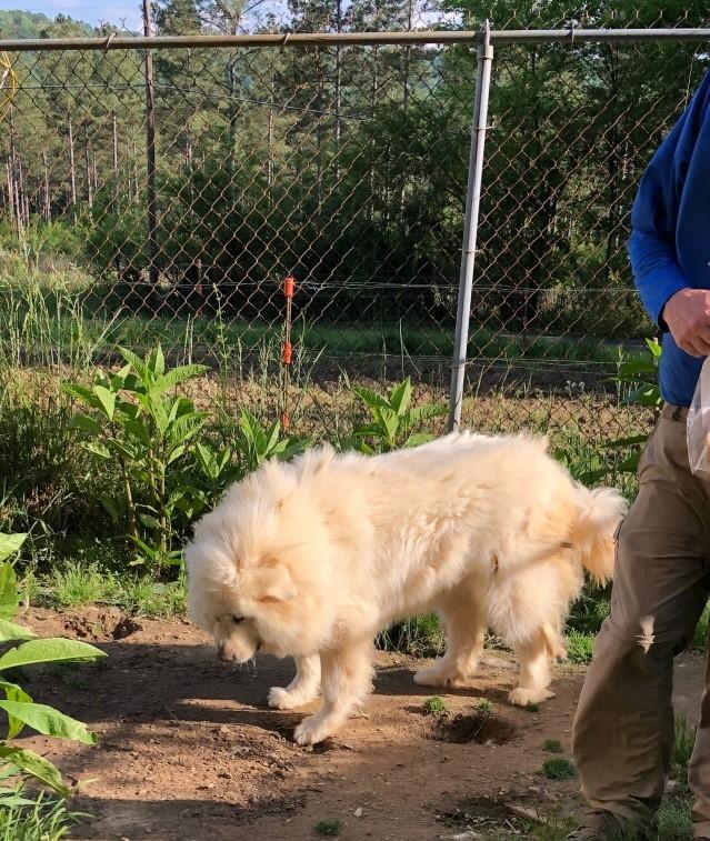 巨大化ピレネー犬【真夏の変化】_e0034987_17263705.jpg