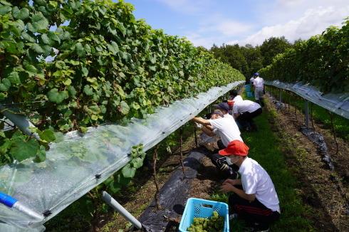 9/15 初めての🍇収穫作業_e0185893_17045469.jpg