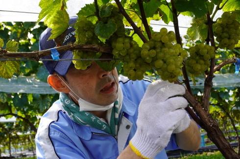 9/15 初めての🍇収穫作業_e0185893_17054499.jpg