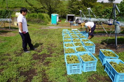 9/15 初めての🍇収穫作業_e0185893_17081753.jpg