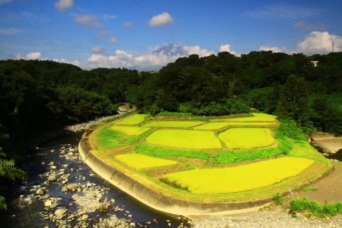 令和2年8月の富士(24) 竹之下の稲田と富士 _e0344396_16532161.jpg