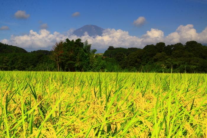 令和2年8月の富士(24) 竹之下の稲田と富士 _e0344396_16533011.jpg