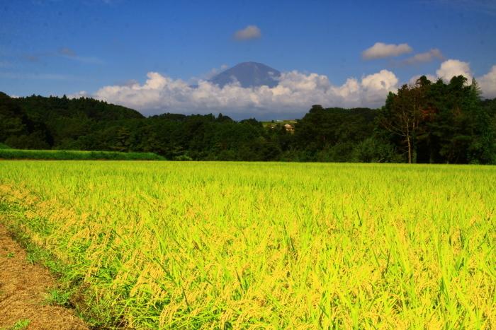 令和2年8月の富士(24) 竹之下の稲田と富士 _e0344396_16533845.jpg