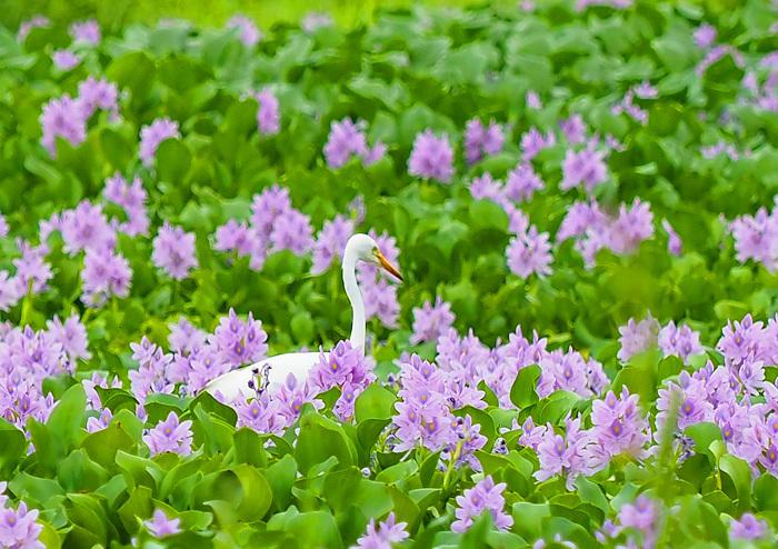美しき湿原にミサゴがやって来た Ⅱ_d0290240_13490715.jpg
