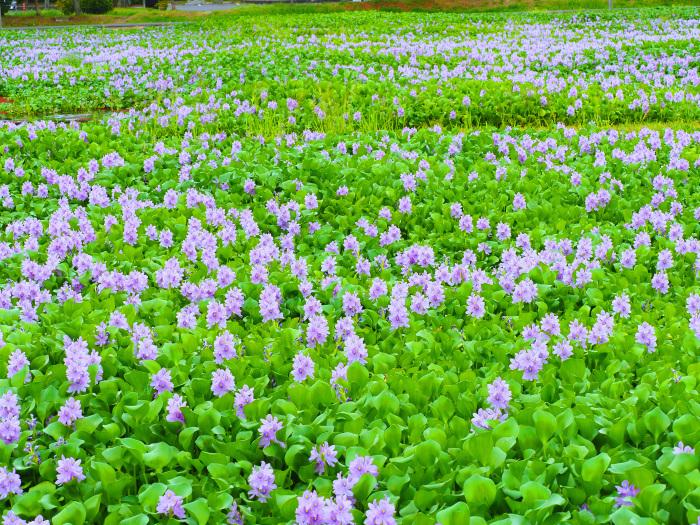 美しき湿原にミサゴがやって来た Ⅱ_d0290240_13490917.jpg