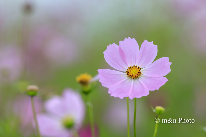 秋桜を訪ねて_e0321360_01430362.jpg