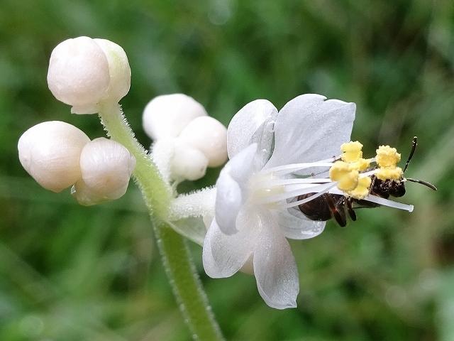 「ヤブミョウガ」の花が思い出せなかった_d0088184_22053127.jpg