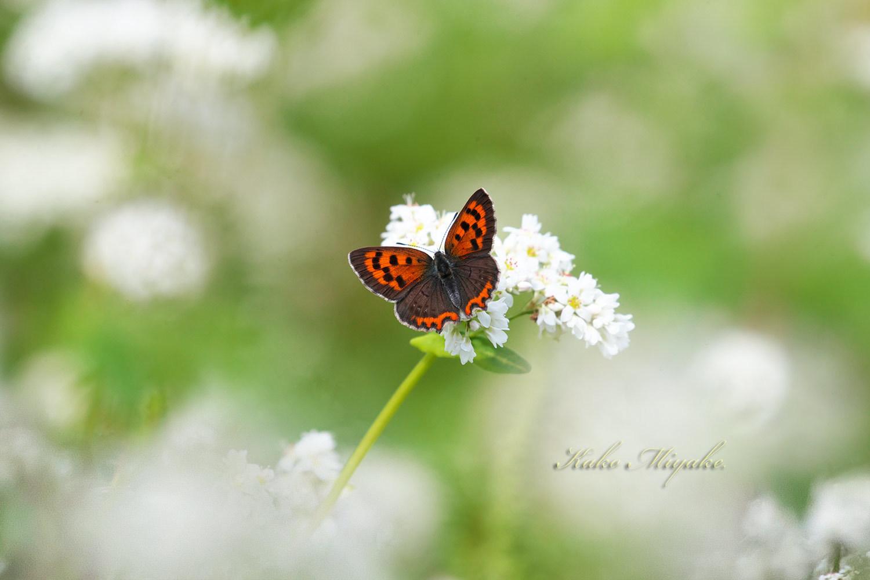 ベニシジミ(Small Copper)★☆☆☆☆   キアゲハ(common yellow swallowtail)★☆☆☆☆ _d0013455_19334778.jpg