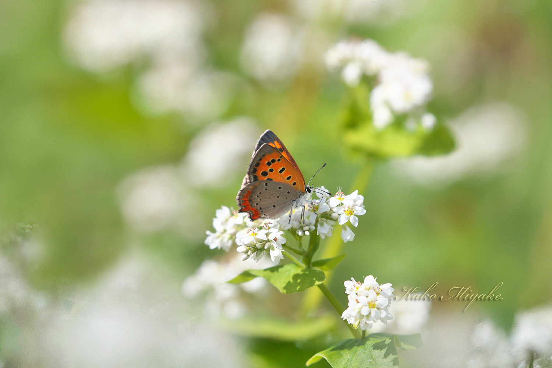 ベニシジミ(Small Copper)★☆☆☆☆   キアゲハ(common yellow swallowtail)★☆☆☆☆ _d0013455_19335734.jpg