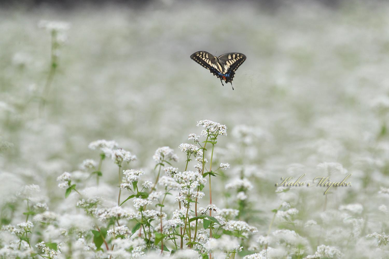 ベニシジミ(Small Copper)★☆☆☆☆   キアゲハ(common yellow swallowtail)★☆☆☆☆ _d0013455_19340372.jpg