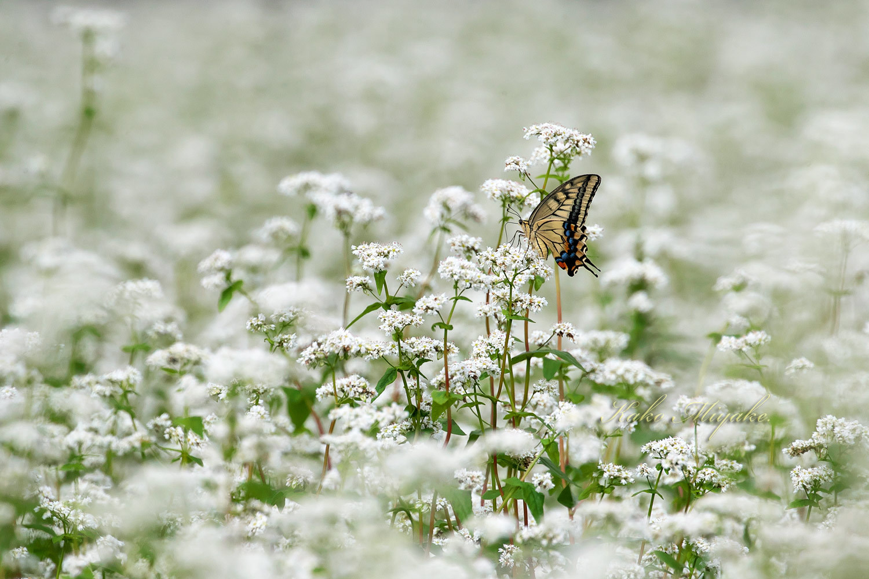 ベニシジミ(Small Copper)★☆☆☆☆   キアゲハ(common yellow swallowtail)★☆☆☆☆ _d0013455_19341020.jpg