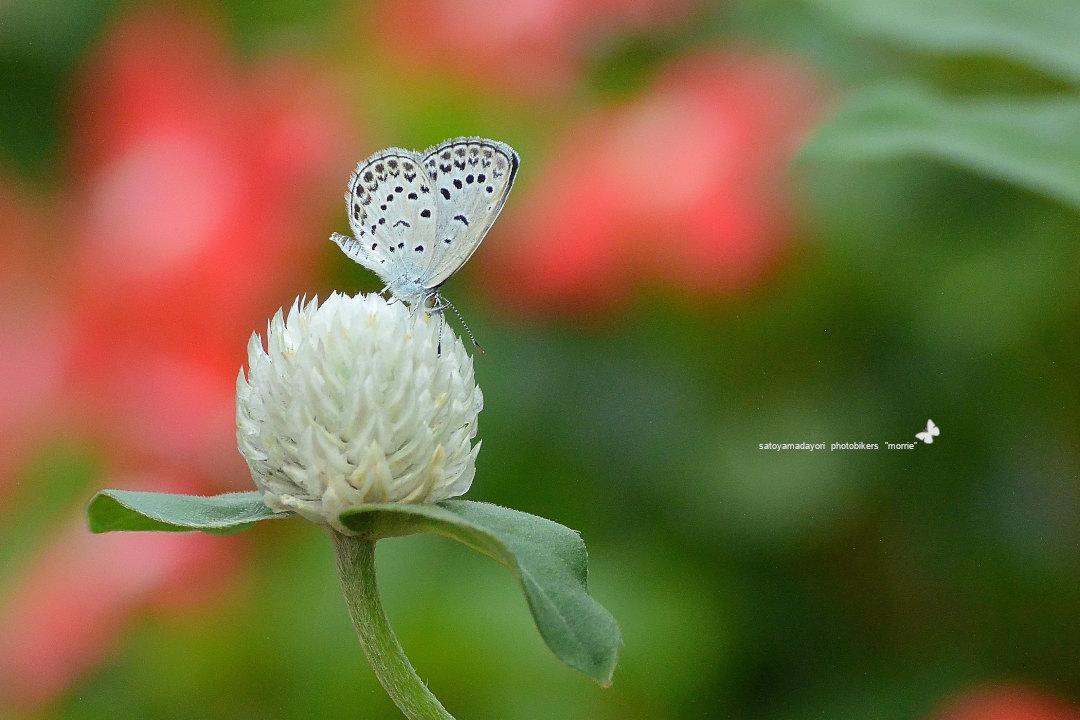 ご近所花壇で練習撮り、シジミチョウ達(2020/09/mid)_d0387460_19434550.jpg