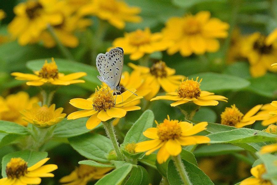ご近所花壇で練習撮り、シジミチョウ達(2020/09/mid)_d0387460_19435295.jpg