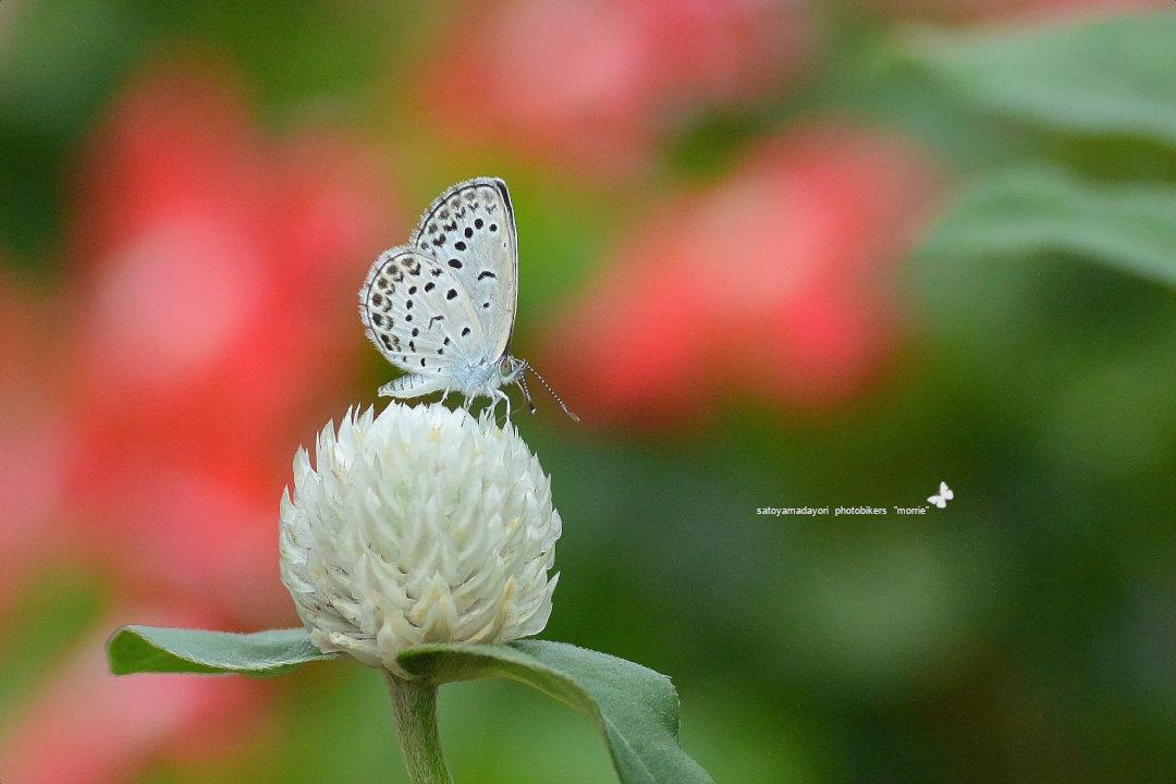 ご近所花壇で練習撮り、シジミチョウ達(2020/09/mid)_d0387460_19441264.jpg
