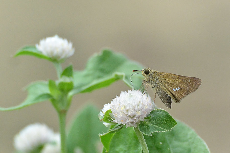 ご近所花壇で練習撮り、シジミチョウ達(2020/09/mid)_d0387460_19442536.jpg
