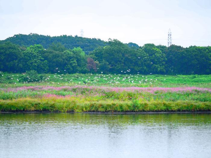 イヌタデ(赤まんま) を背景にサギの大群は_d0290240_08054329.jpg