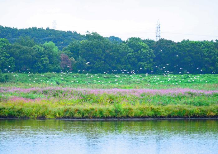 イヌタデ(赤まんま) を背景にサギの大群は_d0290240_08054546.jpg