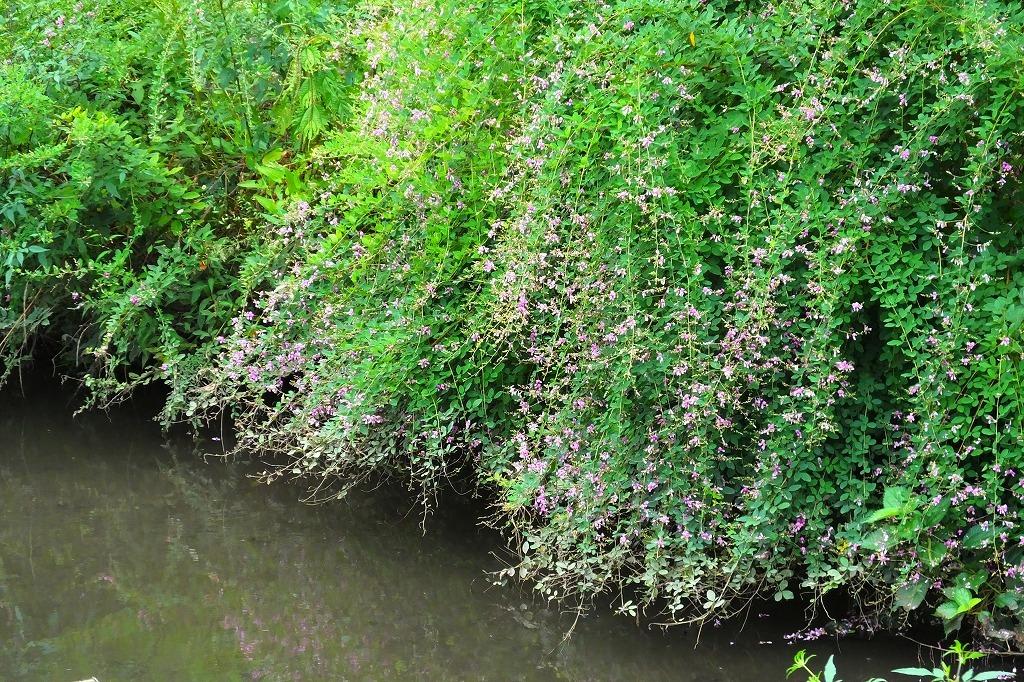滝のように咲くハギの花と、木々を覆うセンニンソウの花_b0236251_11524241.jpg