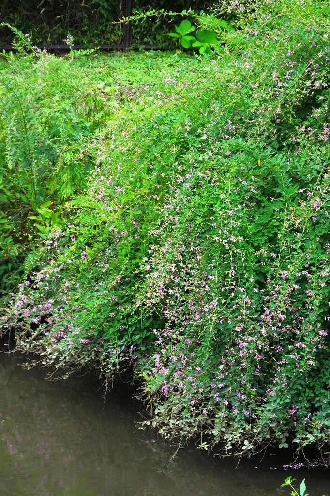滝のように咲くハギの花と、木々を覆うセンニンソウの花_b0236251_11524864.jpg
