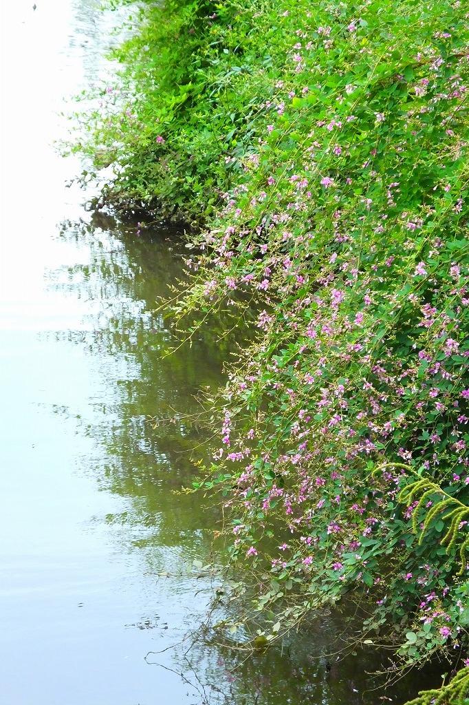 滝のように咲くハギの花と、木々を覆うセンニンソウの花_b0236251_11525105.jpg