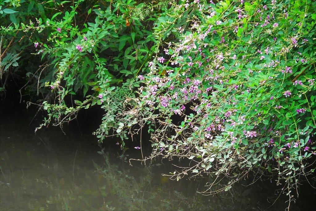 滝のように咲くハギの花と、木々を覆うセンニンソウの花_b0236251_11525987.jpg