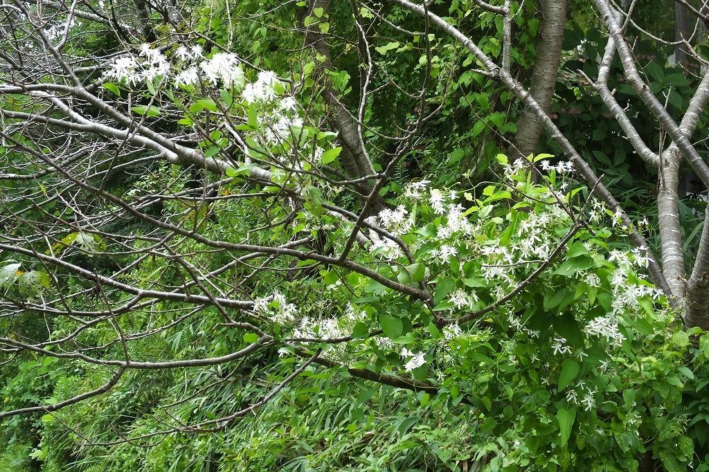 滝のように咲くハギの花と、木々を覆うセンニンソウの花_b0236251_11552530.jpg