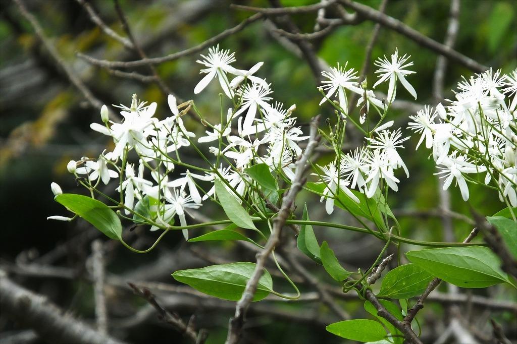 滝のように咲くハギの花と、木々を覆うセンニンソウの花_b0236251_11553056.jpg