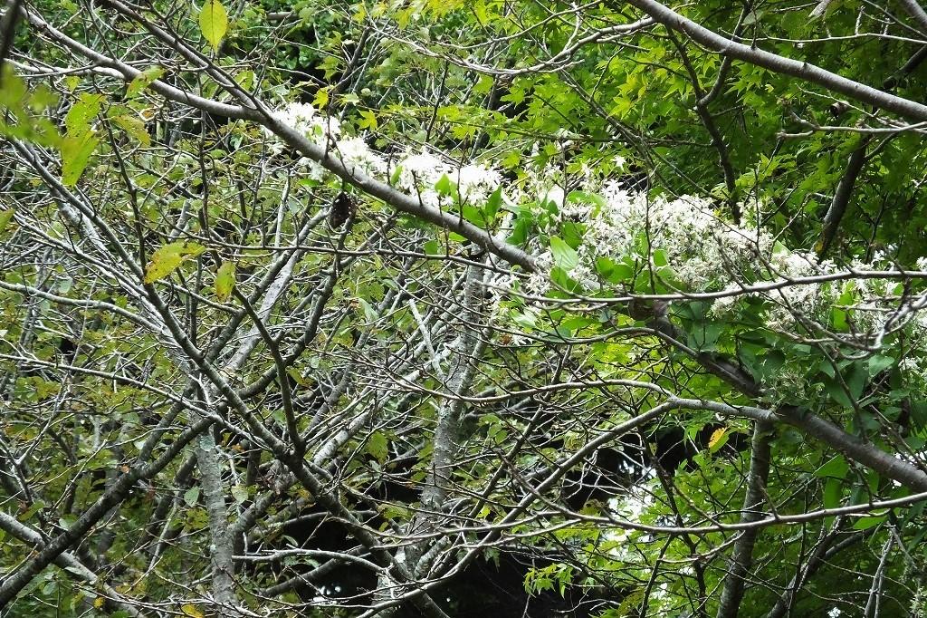 滝のように咲くハギの花と、木々を覆うセンニンソウの花_b0236251_11553498.jpg