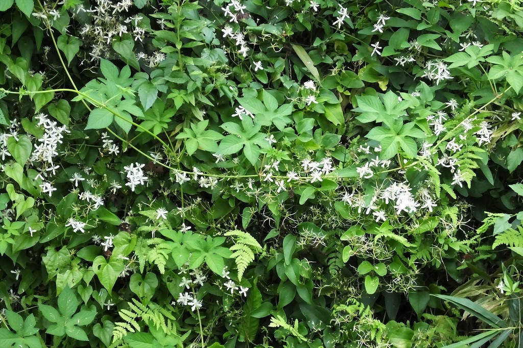 滝のように咲くハギの花と、木々を覆うセンニンソウの花_b0236251_11553821.jpg