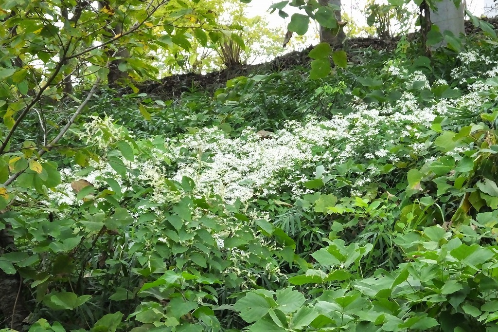滝のように咲くハギの花と、木々を覆うセンニンソウの花_b0236251_11554138.jpg