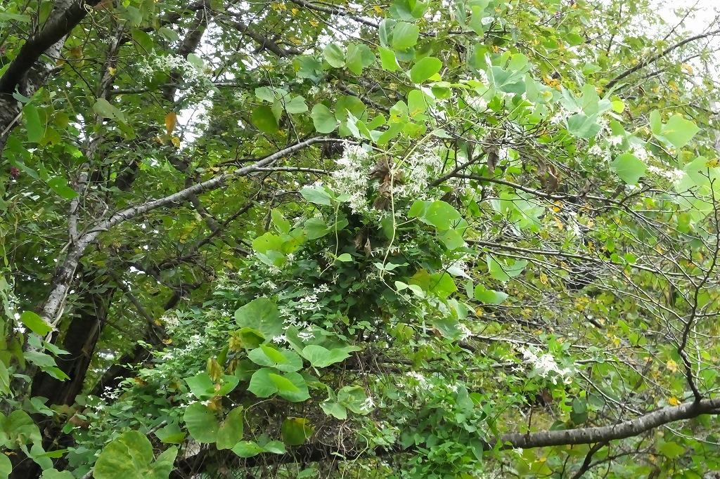 滝のように咲くハギの花と、木々を覆うセンニンソウの花_b0236251_11554576.jpg