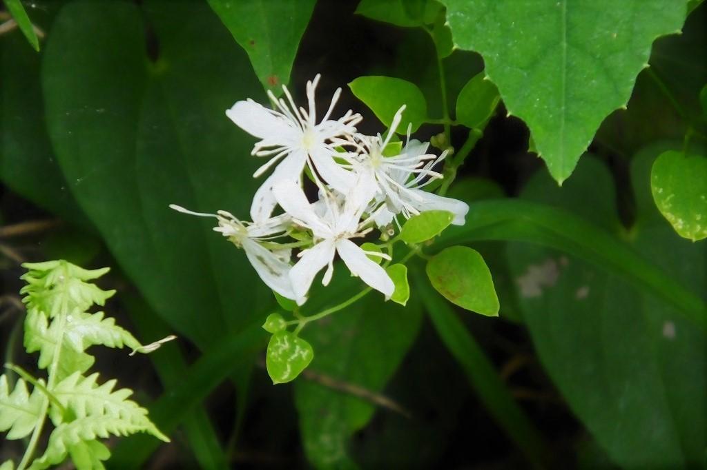 滝のように咲くハギの花と、木々を覆うセンニンソウの花_b0236251_11554909.jpg