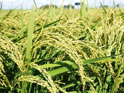 """砂田のこだわりれんげ米 順調に色づき始め頭を垂れてきています!今年は無農薬ではなく""""減農薬栽培""""です!_a0254656_16350365.jpg"""