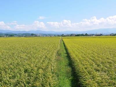 """砂田のこだわりれんげ米 順調に色づき始め頭を垂れてきています!今年は無農薬ではなく""""減農薬栽培""""です!_a0254656_17581182.jpg"""
