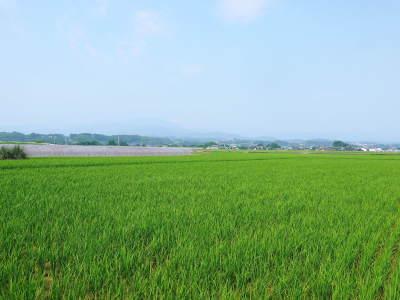 """砂田のこだわりれんげ米 順調に色づき始め頭を垂れてきています!今年は無農薬ではなく""""減農薬栽培""""です!_a0254656_18003052.jpg"""