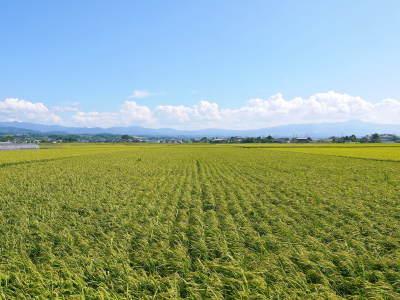 """砂田のこだわりれんげ米 順調に色づき始め頭を垂れてきています!今年は無農薬ではなく""""減農薬栽培""""です!_a0254656_18142605.jpg"""