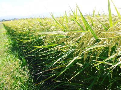 """砂田のこだわりれんげ米 順調に色づき始め頭を垂れてきています!今年は無農薬ではなく""""減農薬栽培""""です!_a0254656_18174833.jpg"""