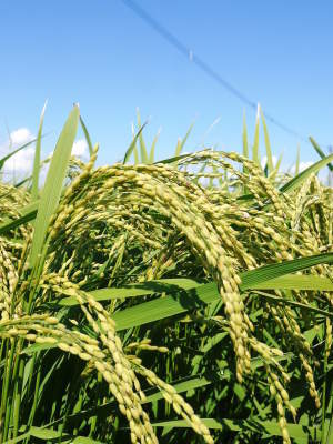 """砂田のこだわりれんげ米 順調に色づき始め頭を垂れてきています!今年は無農薬ではなく""""減農薬栽培""""です!_a0254656_18245582.jpg"""