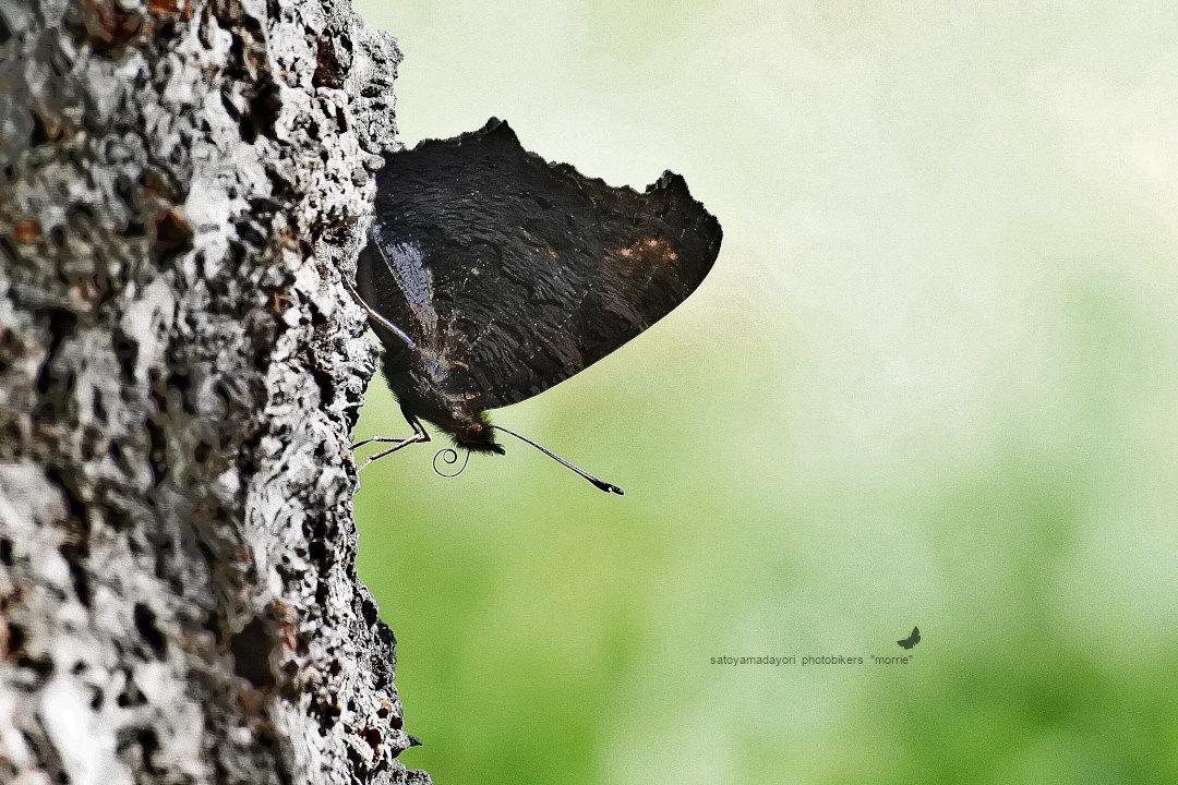 【回顧録】⑤、自宅前に突然迷蝶、クジャクチョウが現れた。_d0387460_19570367.jpg