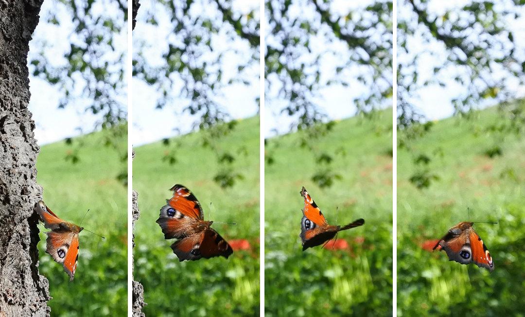 【回顧録】⑤、自宅前に突然迷蝶、クジャクチョウが現れた。_d0387460_19572240.jpg