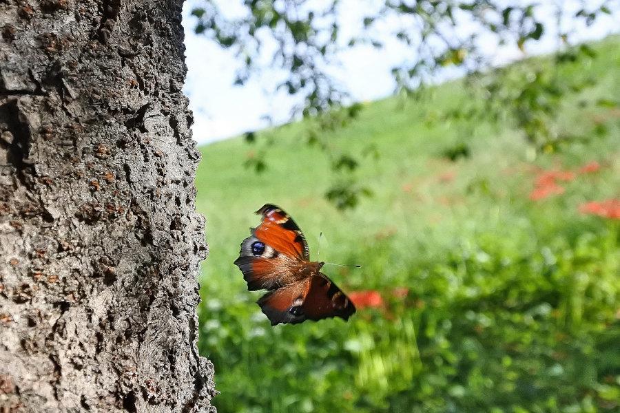 【回顧録】⑤、自宅前に突然迷蝶、クジャクチョウが現れた。_d0387460_19573222.jpg