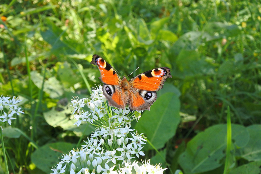 【回顧録】⑤、自宅前に突然迷蝶、クジャクチョウが現れた。_d0387460_19574017.jpg