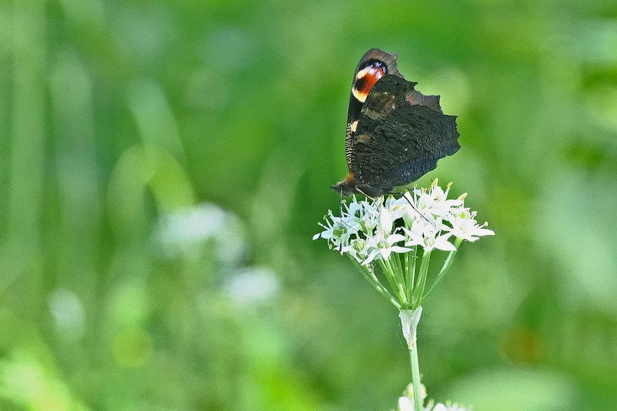 【回顧録】⑤、自宅前に突然迷蝶、クジャクチョウが現れた。_d0387460_19574895.jpg