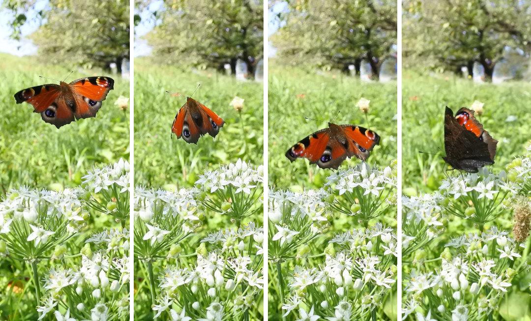 【回顧録】⑤、自宅前に突然迷蝶、クジャクチョウが現れた。_d0387460_19580454.jpg