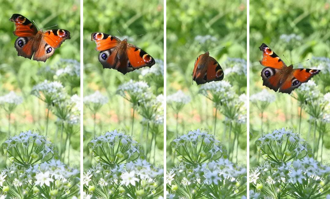 【回顧録】⑤、自宅前に突然迷蝶、クジャクチョウが現れた。_d0387460_19582194.jpg