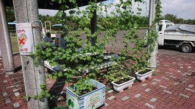 緑のカーテン(ゴーヤ)栽培実験R2.9.17_d0338682_15265502.jpg