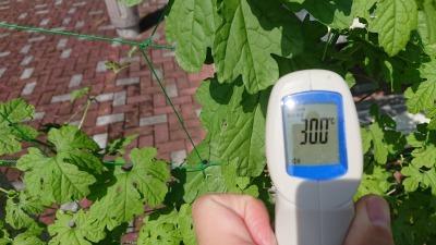 緑のカーテン(ゴーヤ)栽培実験R2.9.17_d0338682_15280052.jpg