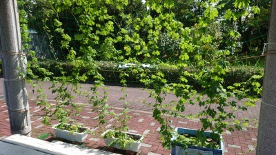 緑のカーテン(ゴーヤ)栽培実験R2.9.17_d0338682_15415507.jpg